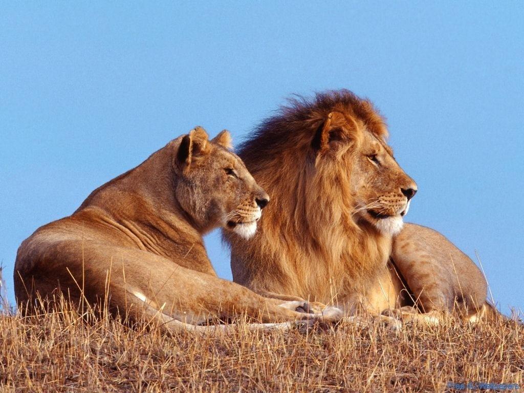 Kenyan Lions Kenya  coming soon